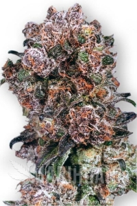 DUTCH PASSION - Blueberry®