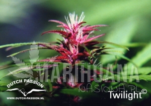 DUTCH PASSION - Twilight®