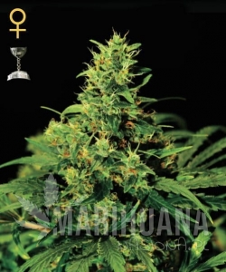 GREEN HOUSE SEEDS - Big Bang