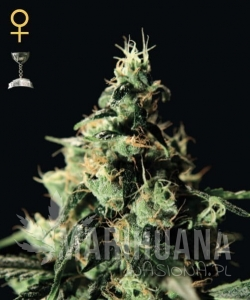GREEN HOUSE SEEDS - Chemdog