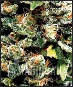 GREEN HOUSE SEEDS - Jack Herer