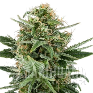 Auto Royal Dwarf 1+1 - ROYAL QUEEN SEEDS