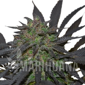 ROYAL QUEEN SEEDS - Blue Mistic®