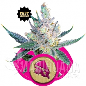 Royal Cheese® (Fast Version) - ROYAL QUEEN SEEDS