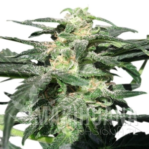 Royal Haze Automatic® 1+1 - ROYAL QUEEN SEEDS