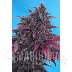 SWEET SEEDS - Dark Devil Autoflowering