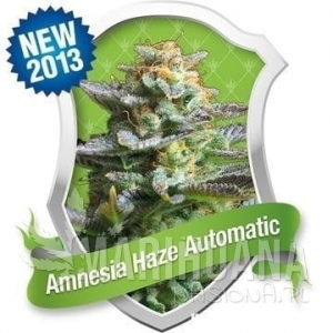 Amnesia Haze Auto 1+1 - ROYAL QUEEN SEEDS