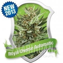 Royal Cheese Automatic 1+1 - ROYAL QUEEN SEEDS