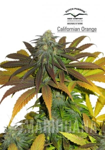 Californian Orange - DUTCH PASSION