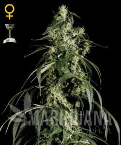 Arjan's Haze #1 - GREEN HOUSE SEEDS