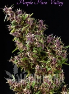 MANDALA SEEDS - Purple Paro Valley