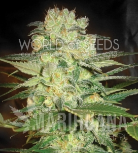 Afghan Kush X White Widow - WORLD OF SEEDS