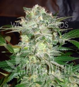 Mazar Kush - WORLD OF SEEDS