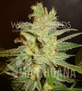 Northern Light X Big Bud - WORLD OF SEEDS