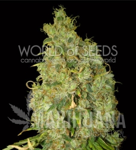 Northern Light X Skunk - WORLD OF SEEDS