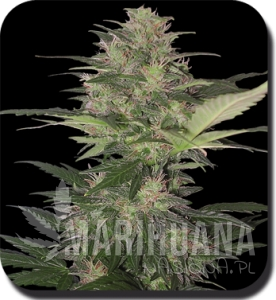 BUDDHA SEEDS - Red Dwarf