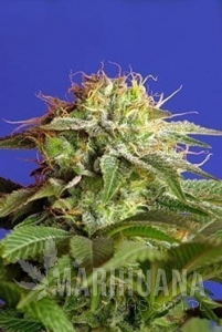 SWEET SEEDS - Green Poison Fast Version