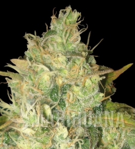 Black Russian - DELICOUS SEEDS