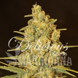 Critical Sensi Star - DELICOUS SEEDS