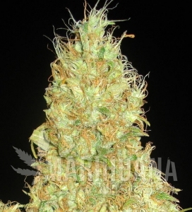 Fruity Chronic Juice - DELICOUS SEEDS