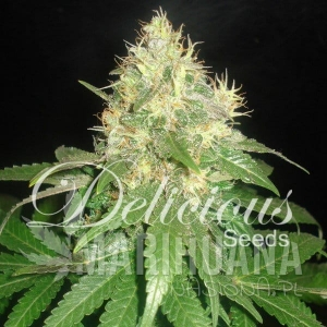 Northern Light Blue - DELICOUS SEEDS