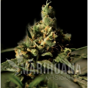 THE BULLDOG SEEDS - Citral Skunk