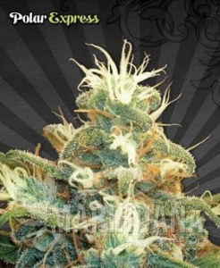 AUTO SEEDS - Polar Express