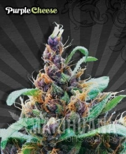 AUTO SEEDS - Purple Stilton