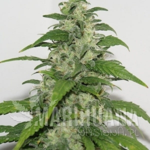 Yummy - RESIN SEEDS