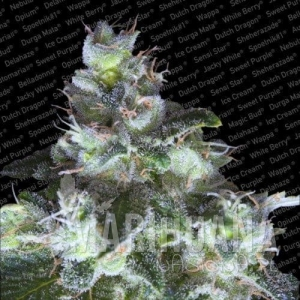 PARADISE SEEDS - Original White Widow