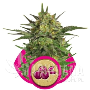 ROYAL QUEEN SEEDS - Haze Berry