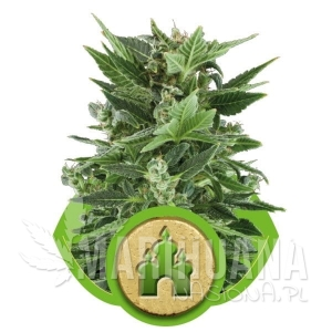 Royal Kush Automatic 1+1 - ROYAL QUEEN SEEDS