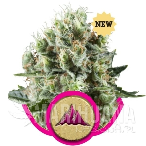 ROYAL QUEEN SEEDS - Critical Kush