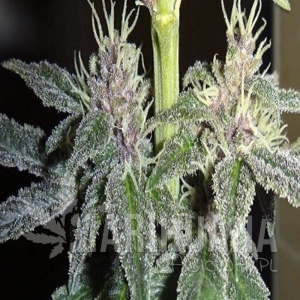 Violeta - ACE SEEDS