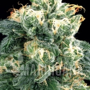 AMARANTA SEEDS - Power Plant