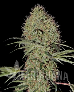 Super Bud Autoflowering 1+1 - GREEN HOUSE SEEDS