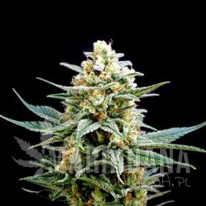 Biological Seeds - CRITICAL