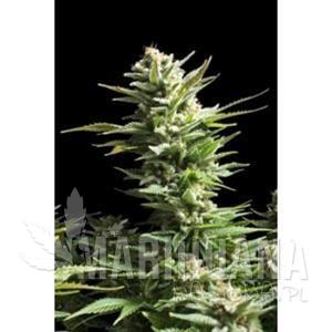 Biological Seeds - AMNESIA