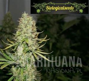 Biological Seeds - Auto Amnesia