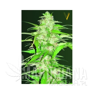 Victory Seeds - Auto Ultra Power Plant