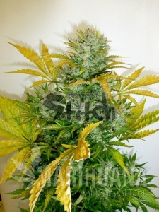 Kush Van Stitch Auto - FLASH SEEDS
