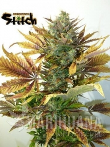 Purple Sirius Kush Auto - FLASH SEEDS