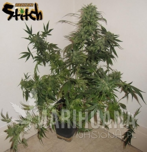 Russian Haze Auto - FLASH SEEDS