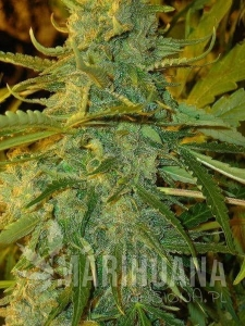 Nirvana Sky Auto - FLASH SEEDS