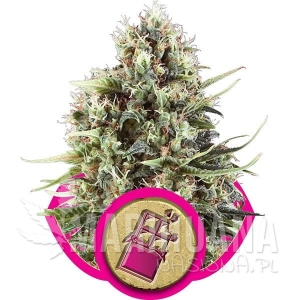 ROYAL QUEEN SEEDS - Chocolate Haze