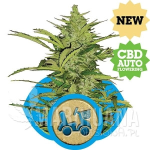 Fast Eddy CBD Auto 1+1 - ROYAL QUEEN SEEDS