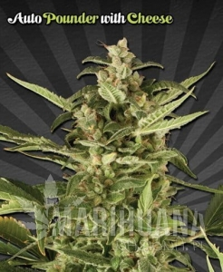 Auto Pounder with Cheese - AUTO SEEDS