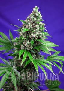 Killer Kush Fast Version 1+1 - SWEET SEEDS