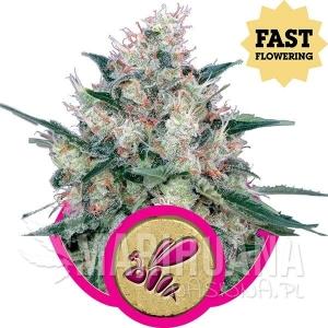 ROYAL QUEEN SEEDS - Honey Cream Fast Version