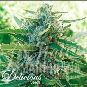 Sugar Black Rose F1 Fast Version - DELICOUS SEEDS
